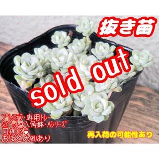 【完売】【抜き苗】ケープブランコ (白雪ミセバヤ) 多肉植物 セダム(その他)