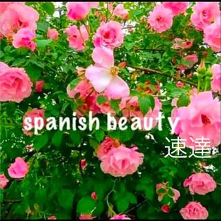 スパニッシュビューティー 四季咲き つるバラ カット苗 3本 即購入可(プランター)