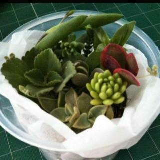 多肉植物 詰合せ 40g(その他)