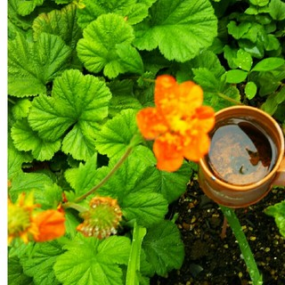 オレンジの花(ゲウム)(その他)