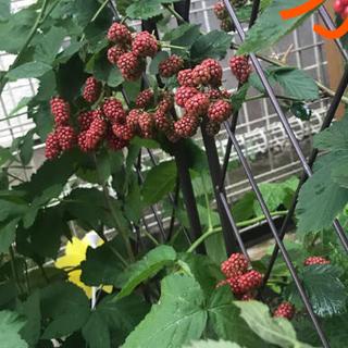 ■ブラックベリー大苗ボイセンベリー健康フルーツ無農薬栽培♪(フルーツ)