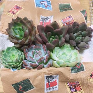 韓国多肉植物6苗セット(その他)