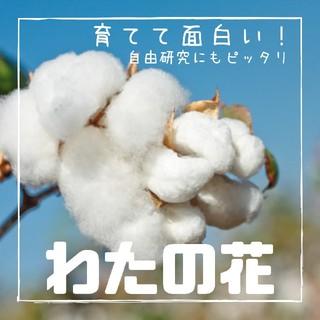 【わた花・木綿・木棉・コットン】種子6粒!お子さんとご一緒に!(その他)