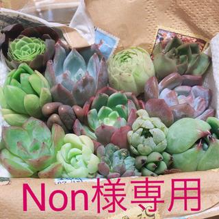 Non様専用  韓国多肉植物  ミニ寄せ植えセット(その他)