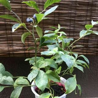 ブルーベリーの苗 フルーツ 果物 観葉植物(野菜)