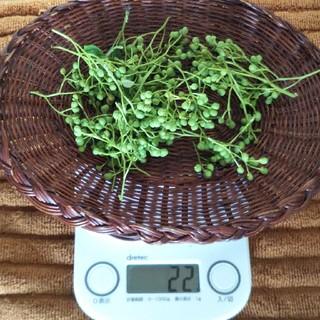 しほ様専用  山椒22グラム+枝付き山椒の実と葉(野菜)