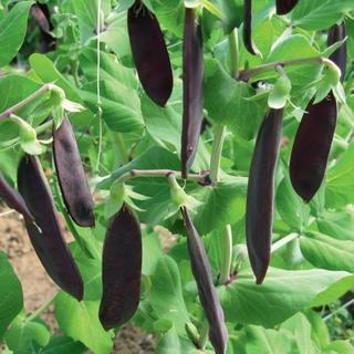 ツタンカーメン(紫エンドウ)の種(野菜)