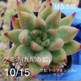 多肉植物  9月入荷 9/16更新(その他)