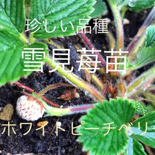 雪見苺苗(野菜)