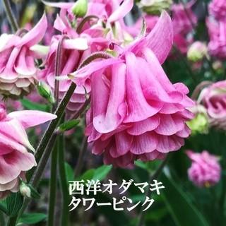 秋蒔き花の種  西洋オダマキ・タワーピンクの種を50粒(その他)