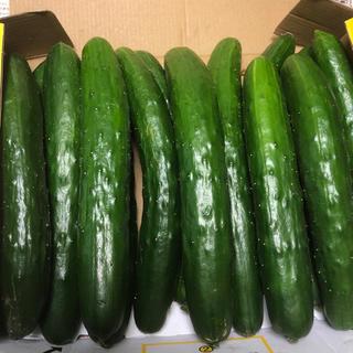 阿蘇のきゅうり 1.5kg 1.5kg 大小混ざり 次回発送7月23日即購入OK(野菜)