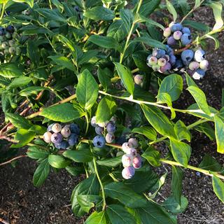 朝摘み⭐︎群馬県産生 ブルーベリー 600g(フルーツ)