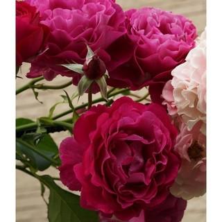 即購入❌[予約]珍しい四季咲き中輪バラ♪赤紫ワイルドブルーヨンダー根付き苗1株(その他)
