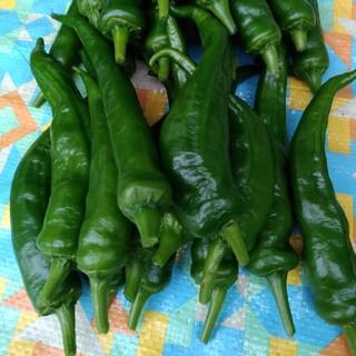 万願寺唐辛子とお好きなハーブ3種(野菜)