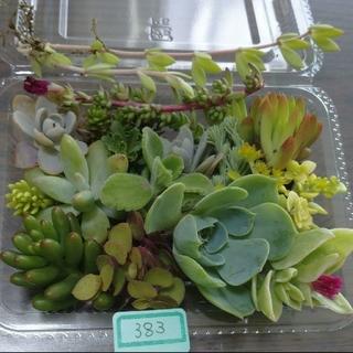 多肉植物 カット苗 383(その他)