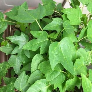 パパイヤの苗 無農薬 南国野菜果物 フルーツ(野菜)