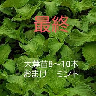大葉苗8~10本 おまけミント(野菜)