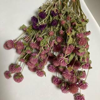 ピンク千日紅茎付き50本以上値下げ紫色オマケ(ドライフラワー)