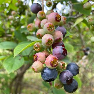 今が旬です⭐︎完熟無農薬ブルーベリー 1kg 21日もしくは23日配送可(フルーツ)