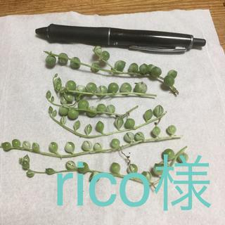 多肉植物 斑入りグリーンネックレス(その他)