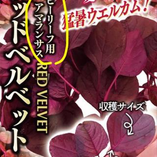 ●希少●アマランサス レッドベルベット(野菜)