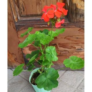 ゼラニウム  お花が濃いオレンジ色  1苗  現品(その他)