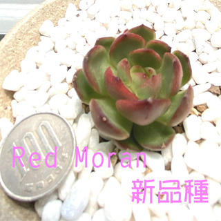 新品種‼️韓国苗‼️多肉植物 エケベリア  Red Moran 1(その他)