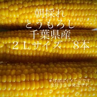 朝採れ とうもろこし 千葉県産 2Lサイズ 8本(野菜)