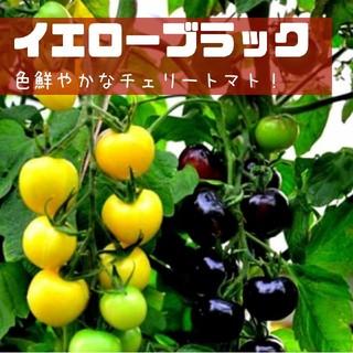 【イエローブラック】種子20粒 チェリートマト(その他)