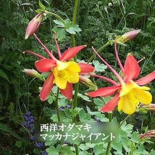 秋まき花の種  西洋オダマキ・マッカナジャイアント混合 50粒(その他)