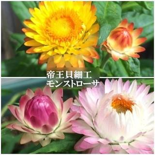 秋まき花の種  帝王貝細工・モンストローサ混合を50粒(その他)