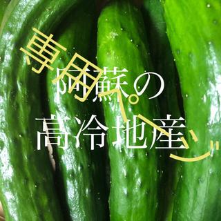 専用ペー阿蘇のきゅうり 小さいきゅうり1.5kg 次回発送7月26日 即購入OK(野菜)