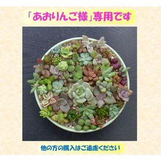 多肉植物 【0353】  カラフル肉厚系多肉40種セット(その他)