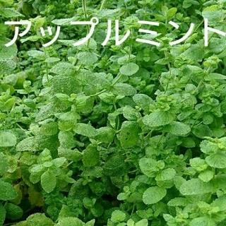 ハーブ苗(その他)
