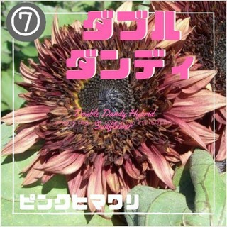 【ピンクヒマワリ】ダブルダンディ 種子7粒(その他)
