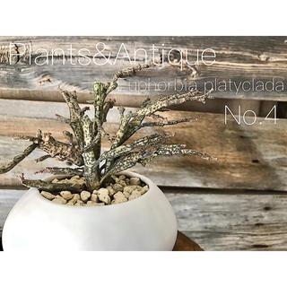 珍奇植物   ″ゾンビ・プランツ″  ビザールプランツ/多肉植物/観葉植物(プランター)