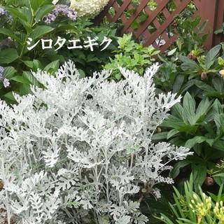 秋まき花の種 シロタエギク(白妙菊)50粒 観賞用植物 銀葉 シルバーリーフ (その他)