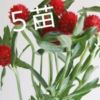 ストロベリーフィールド 千日紅 5苗(ドライフラワー)