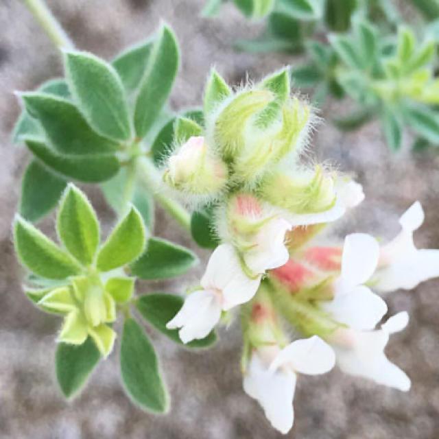 ロータスブリムストーン 挿し穂 ハンドメイドのフラワー/ガーデン(その他)の商品写真