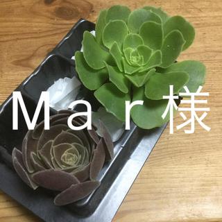 多肉植物 アオエニウム❣️韓国苗(その他)