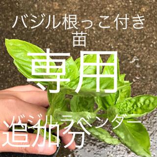 バジル苗とラベンダー(野菜)