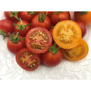 いまが旬! フルーツトマト 1kg 新潟産 朝採り 新鮮(野菜)