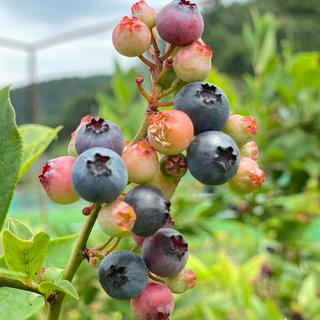 即日発送☆.無農薬完熟ブルーベリー 2キロ (フルーツ)