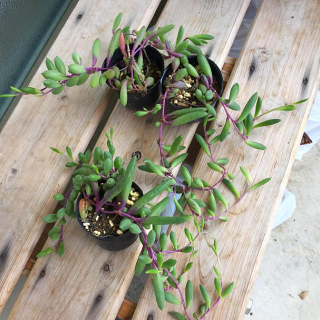 ルビーネックレス(挿し芽) ハンドメイドのフラワー/ガーデン(プランター)の商品写真