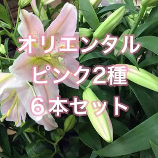 優品 オリエンタル百合 ピンク2種 6本セット(その他)
