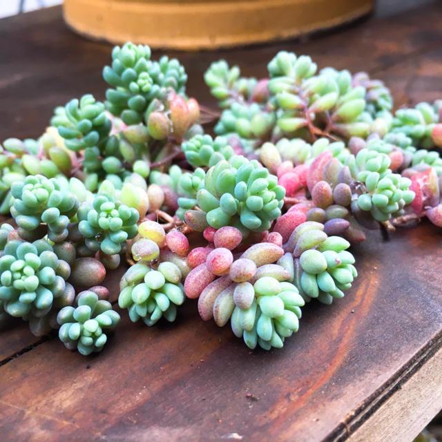パープルヘイズ  セダム 多肉植物 ハンドメイドのフラワー/ガーデン(その他)の商品写真