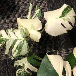 モンステラ 斑入り ホワイトタイガー 茎根 おまけ付き(プランター)