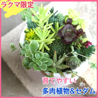 感謝セール 自力で育つ 多肉植物 セダム 観葉植物 苗(プランター)