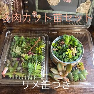 多肉カット苗セットリメ缶付き(その他)