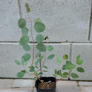 ユーカリ ポポラス 多年草宿根草 観葉植物(その他)